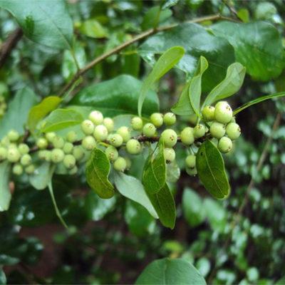 commiphora-mukul
