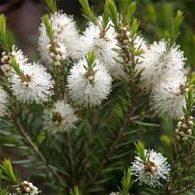 melaleuca-alternifolia-cheel